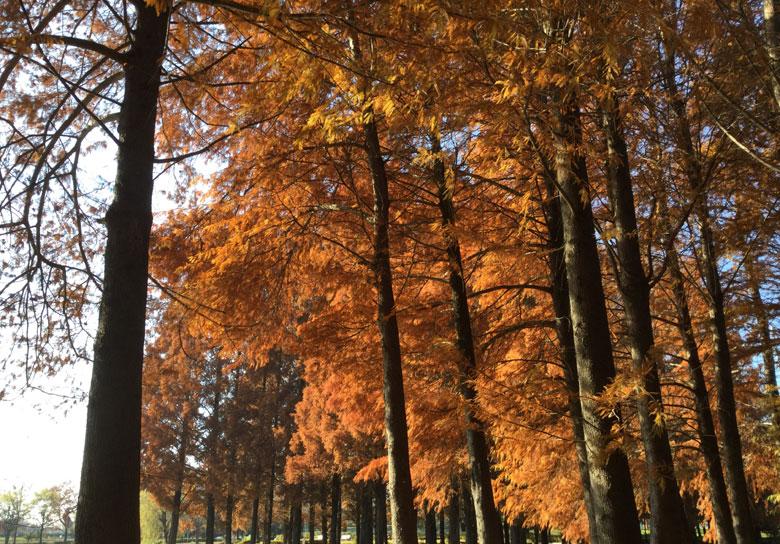 メタセコイアの木々
