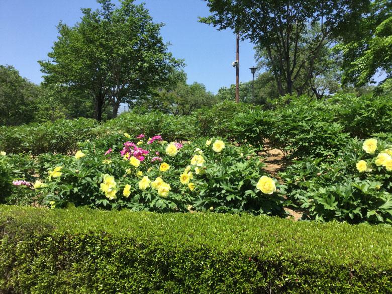 東松山ぼたん園ぼたんの花